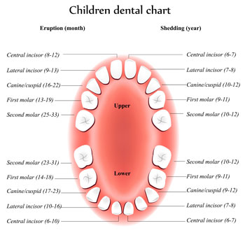 Tooth Eruption Chart - Pediatric Dentist in Hales Corners, WI